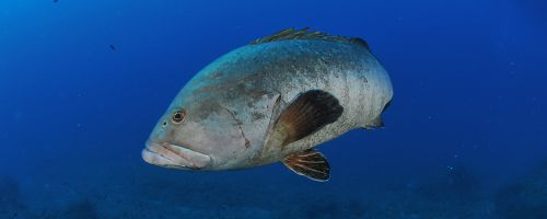 The grouper